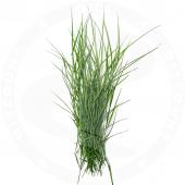 Arugampul grass 40g