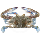 Crab blue swimming U10...